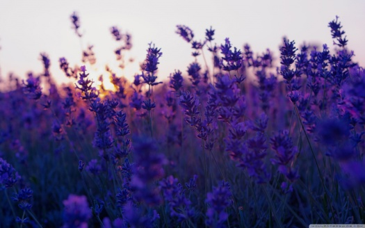 lavender_field_and_sunset-wallpaper-1440x900